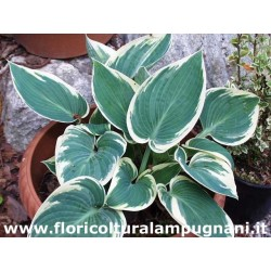 Hosta Samantha