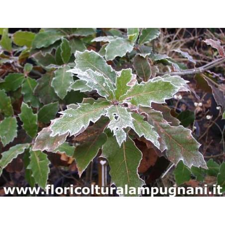 Quercus Rizophylla