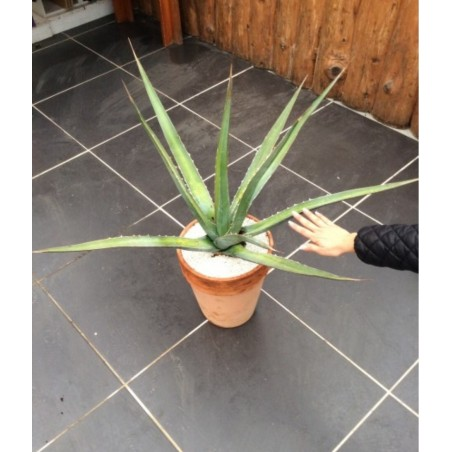 agave xylonacantha