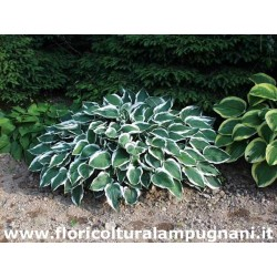 Hosta Lager White Edec