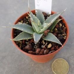 Agave Utahensis