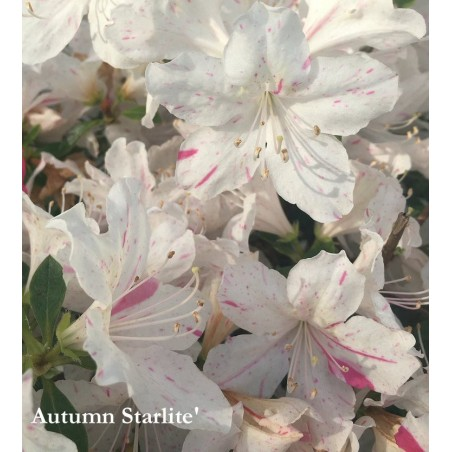 Azalea Encore (r) Autumn Starlite' vaso17