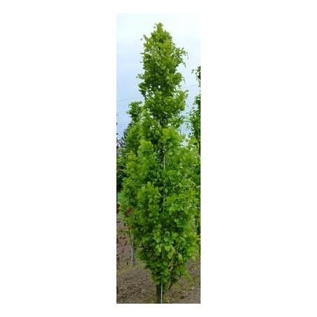 Quercus Regal prince