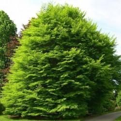 Fagus Sylvatica Asplenifolia