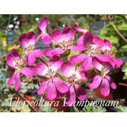 Pelargonium Gibbosum rosa (Succulento