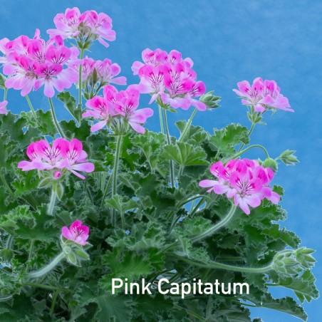 Pelargonium Pink Capitatum