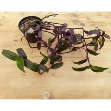 Tripogranda serrulata scimitans purple