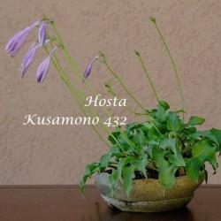 Hosta Kusamono 432