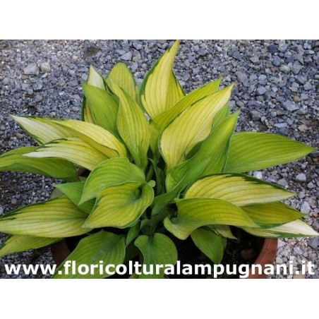 Hosta Inniswood