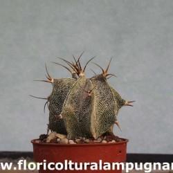 Astrophytum ornatum meztitian