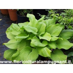 Hosta Fried Bananas