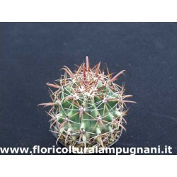 Ferocactus Santamaria