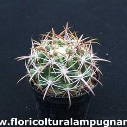 Ferocactus Viridescens S.Diego