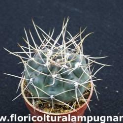 Gymnocalycium Gibbosum Nobile