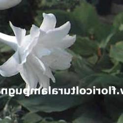 Plantaginea Aphrodite
