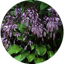 Hosta besty King