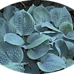 Fragrant Blue