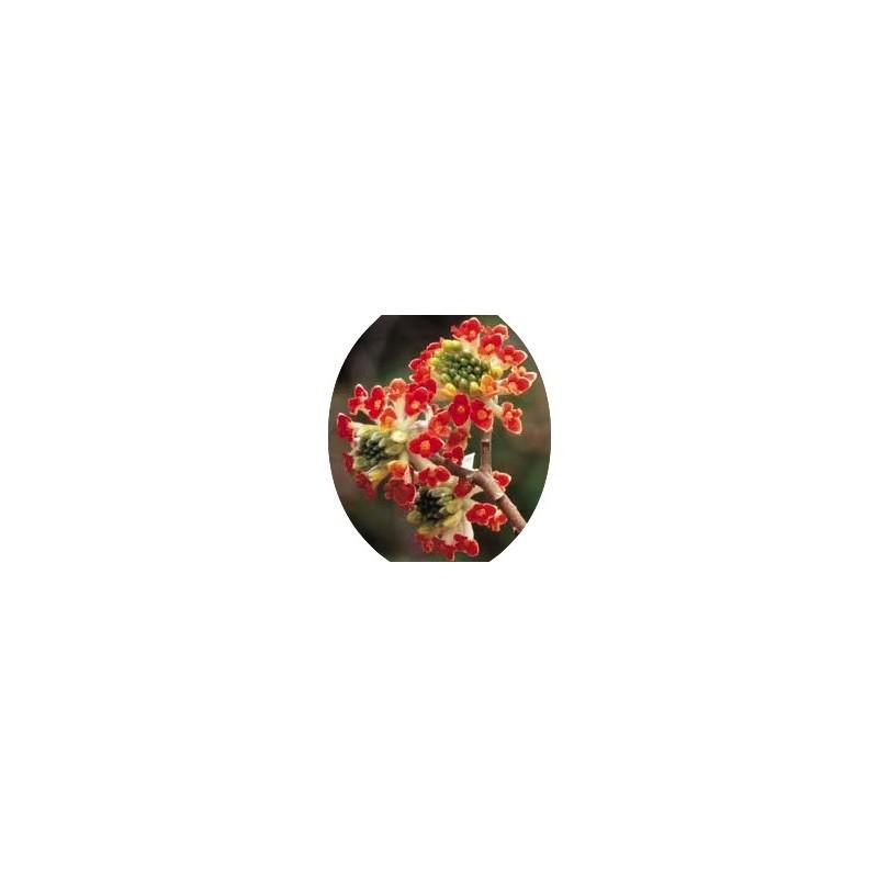 Edgeworthia Chrysantha - Red Dragon