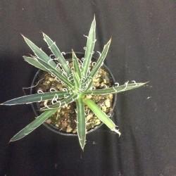 Agave filifera subsp. multifilifera