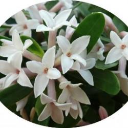 Daphne fragrantissima