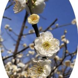Prunus mume alboplena