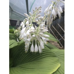 Hosta Green Acres