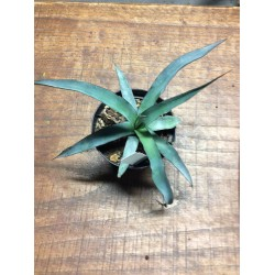 Agave Ochaui longifolia