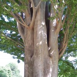 Esemplare di Zelkova Carpinifolia