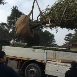 Carpino Betularis ceppaia altezza 10 metri circa quintali 35 circa