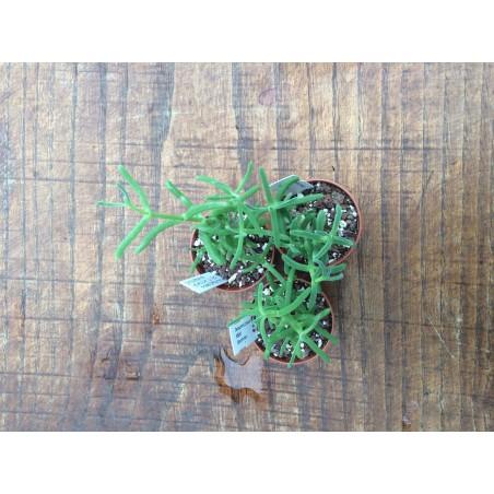 Delosperma Crassum SB. 995 Strandfontein
