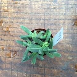 Aloinopsis peersii kerkplaas
