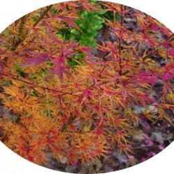 Acer Palmatum Okushimo
