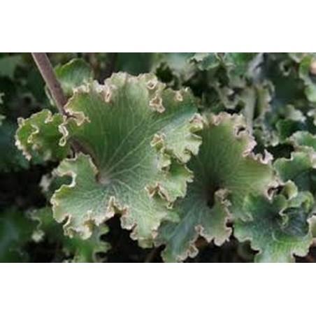 Farfugium Japonicum crispatum