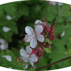 Geranium Macrorhizzum