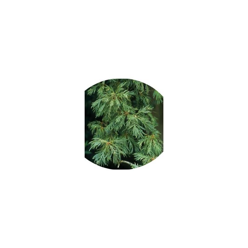 Quercus Robur pectinata