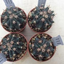 Ferocactus horridus S CVL. Brevispina