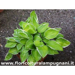 Hosta Moonlight