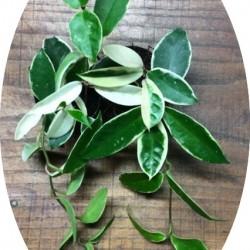 Hoya Carnosa Tricolor  fiore di cera