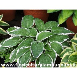 Hosta France Fortunei