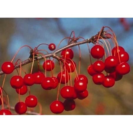 Malus Red Jewel