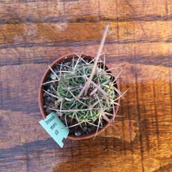 Echinofossulocactus erectocentrus SB. 286