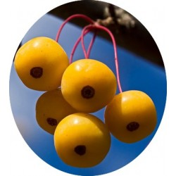 Malus Sargentii yellow