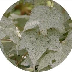 Acer pictum  'Usugumo'