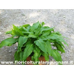 Hosta Green Fountain