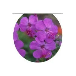Geranium cantabrigiense 'Westray' ®