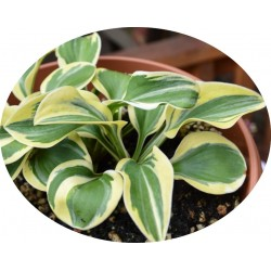 Hosta Lucky Mouse