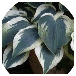 Hosta Great Escape