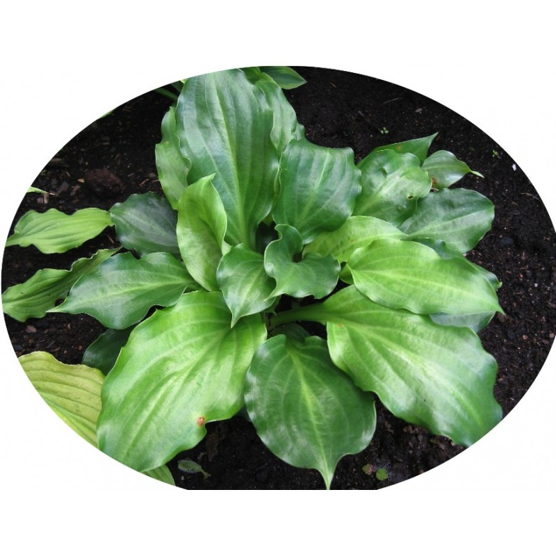 Hosta Lakeside Looking Glass