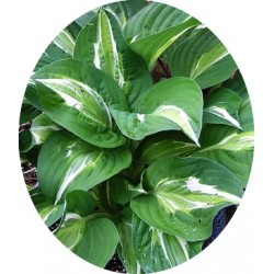 Hosta Moulin Rouge