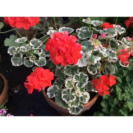 Pelargonium Maxime Covllley